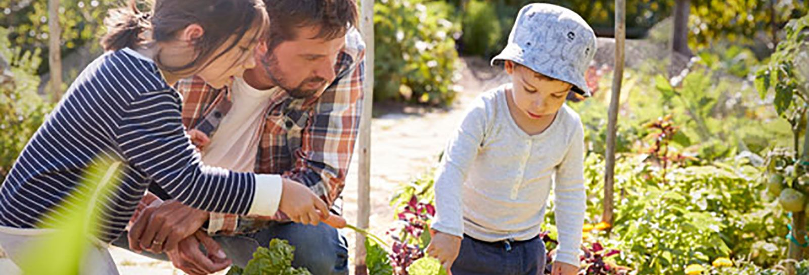 A man and two children digging up vegetables banner image
