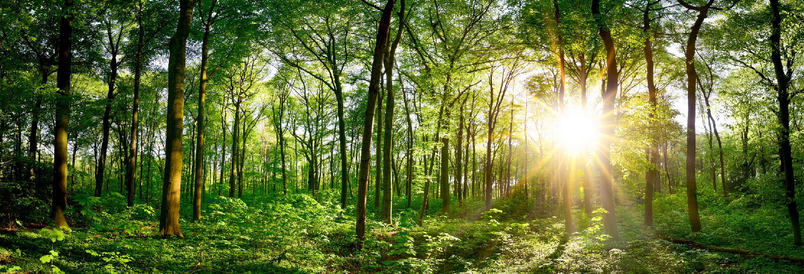 A forest at sunrise banner image